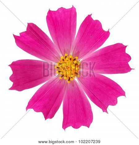 Purple Kosmeya Flower