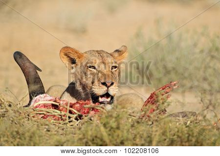 Lioness (Panthera leo) feeding on the carcass of a wildebeest, Kalahari desert, South Africa