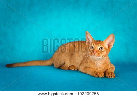 sorrel abyssinian cat on dark green background