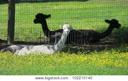 Llamas resting in the grass
