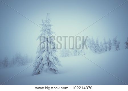 Winter landscape with spruce covered by snow. Christmas view. Color toning. Low contrast