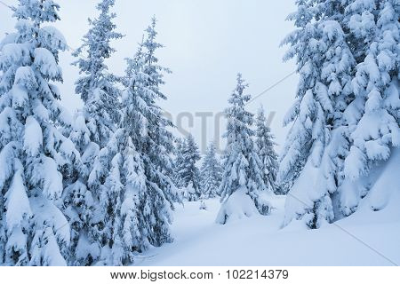 Snowy winter. Lots of snow in the woods. Snowdrifts under trees. Color toning