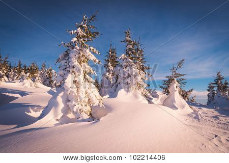 Sunny winter landscape with trees covered with snow. Christmas view
