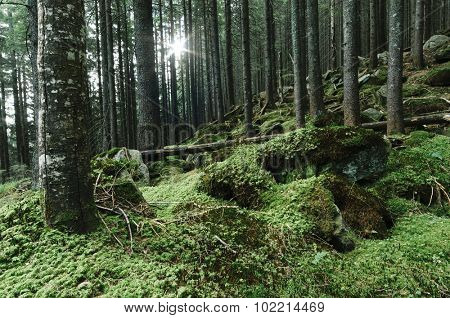 Forest landscape with moss on the rocks. Fir trees