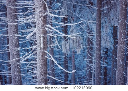 Fir forest. Winter landscape with snow. Beauty in nature