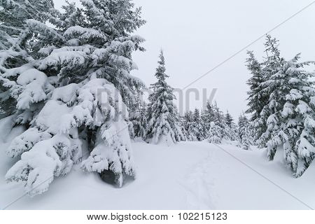 Cloudy day in the forest. Winter landscape with footpath in the snow. Fir trees