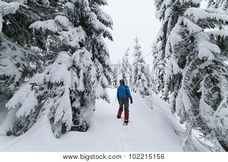 Snowy forest. Man standing in snowdrift and looks at fir tree