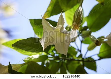 White flower on an angel trumpet tree