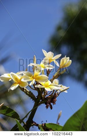 Hawaiian yellow plumeria hybrid, frangipani