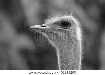Ostrich Head