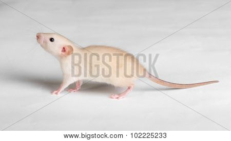 Little Baby Rat