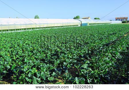 Field Of Green Zucchini In Summer