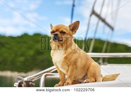 Chihuahua Dog With Closed Eyes.