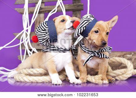 Portuguese Podengo puppy
