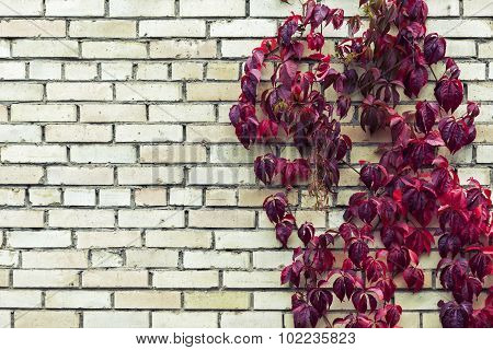 Red Autumn Foliage On Brick Wall