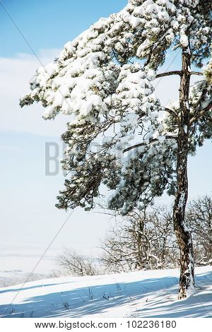 Snowy Conifer Tree