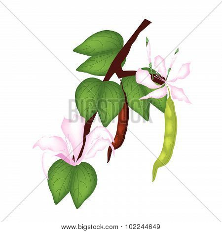 Pink Bauhinia Purpurea Or Orchid Tree On White Background