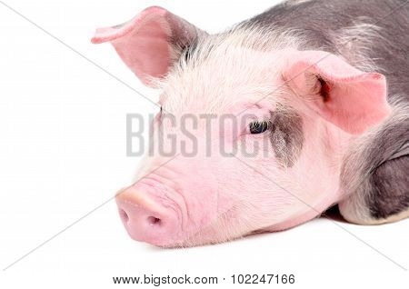 Portrait of a cute piglet, closeup