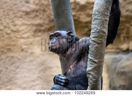 Chimpanzee sitting on the tree in zoo.