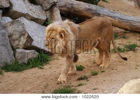 Angola Lion