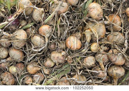 onions in a field