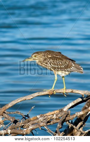 The Black Crowned Night Heron On The Driftwood At Malibu Lagoon