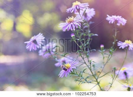A Bee Sits On Aster Novi-belgii In Garden In Autumn