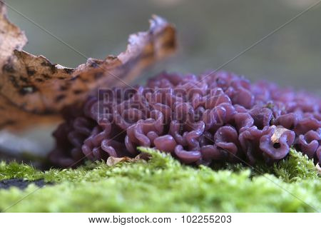 Ascocoryne Sarcoides Mushrooms
