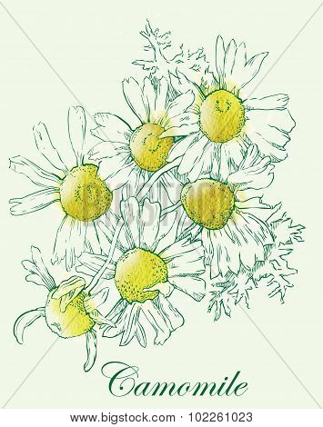 Camomile watercolor vector sketch.