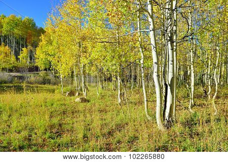 Tall Yellow And Green Aspen During Foliage Season