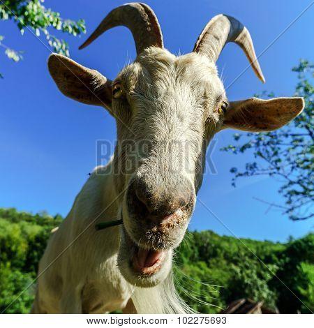 Emotional Portrait Of Horned Goat