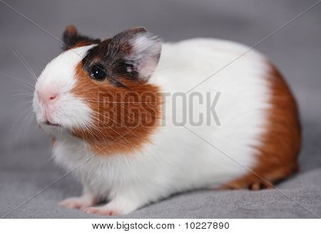 Guinea pig over gray