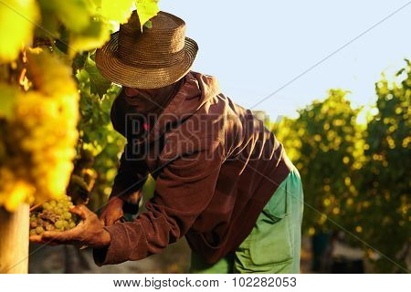 Farmer Picking Up The Grapes In Vineyard