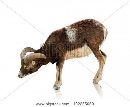 goat on white background