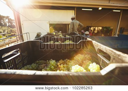 Harvested Grapes In Boxes Ready To Be Crushed In Winery