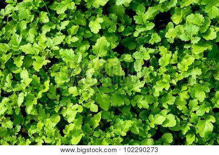Leaf Mustard