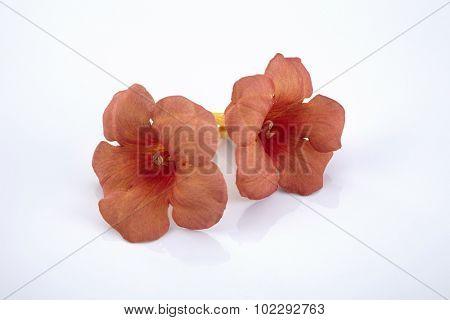 orange trumpet vine on the white background