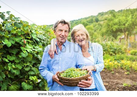 Couple harvesting grapes
