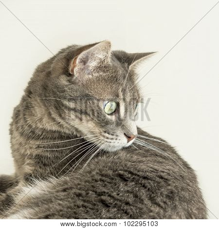 Young tabby cat watching an insect (hunting instinct)