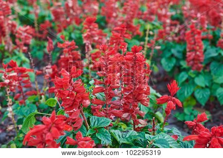Beautiful Sage Red Flowers