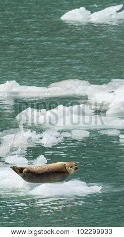 Harbor Seal On Iceflow