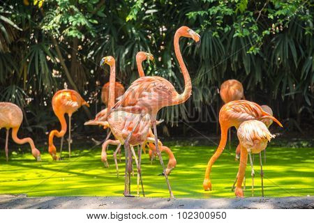 pink flamingos photographed in Safari World Park of Bangkok