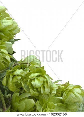 Wild Hop Humulus Lupulus Cutout