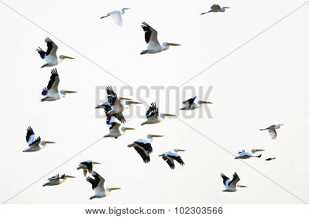 Flock Of American White Pelicans Flying On A White Background