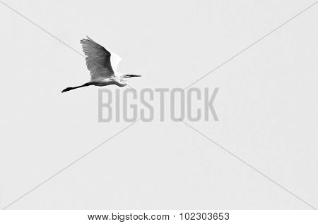 Great Egret Flying On A White Background