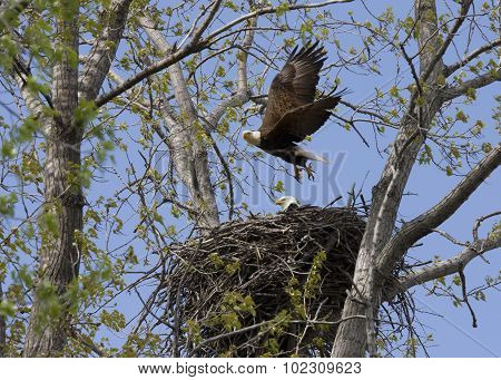Eagle Flying From Nest