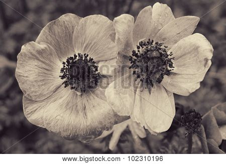 Poppies With Water Drops. In Sepia Toned. Retro Style