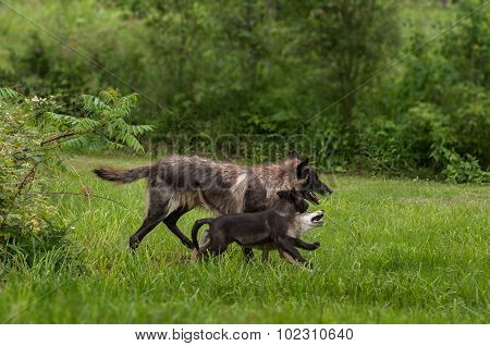 Black Phase Grey Wolf (canis Lupus) And Pups Run