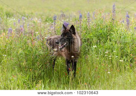 Black Phase Grey Wolf (canis Lupus) Stands In Lupin