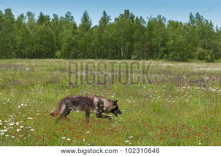 Black Phase Grey Wolf (canis Lupus) Runs Through Field
